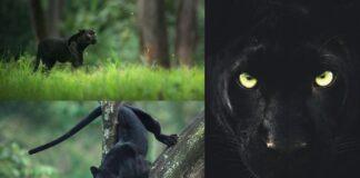 Shaaz Jung named the black panther Saya